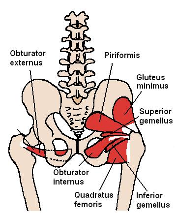 Posterior Hip Muscles piriformis el paso tx