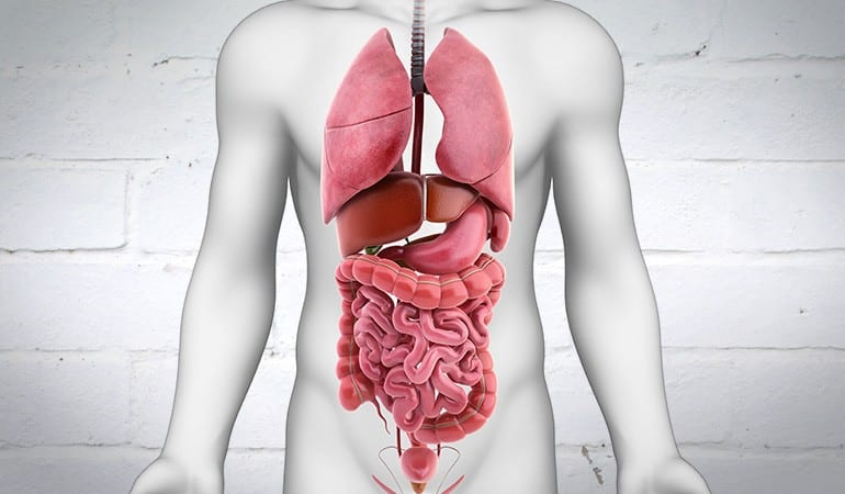 Image depicting the digestive system with a strong barrier behind it.