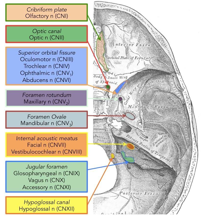 Cranial Nerves Diagram 2   El Paso, TX Chiropractor