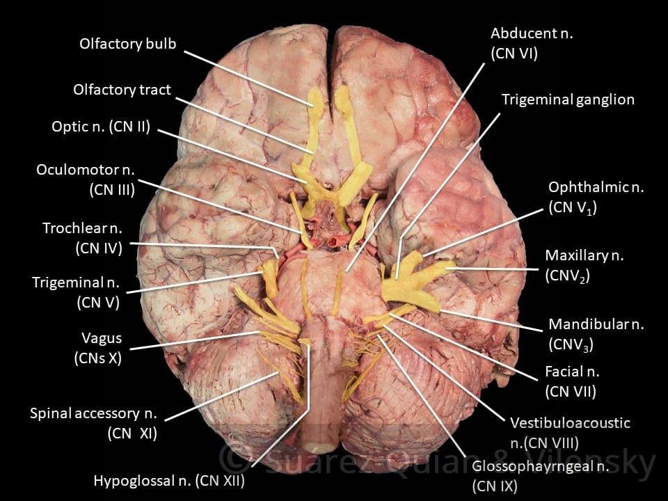 Cranial Nerves Diagram 3   El Paso, TX Chiropractor