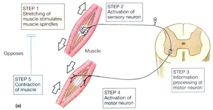 Mechanics of Stretching Diagram 1 | El Paso, TX Chiropractor