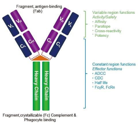 IgG_antibody_figure